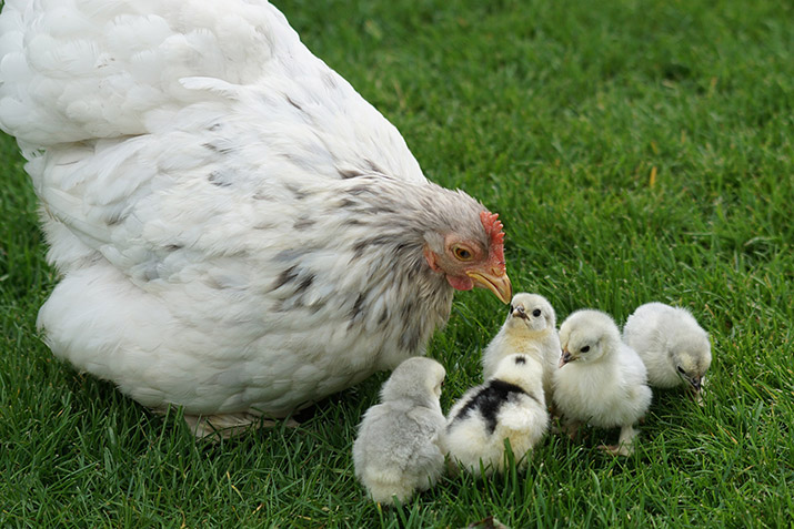 Mother chicken with baby chicks